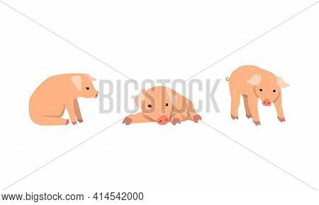 Pinky Pig As Domestic Animal With Long Snout And Hoofed Toes Vector Set