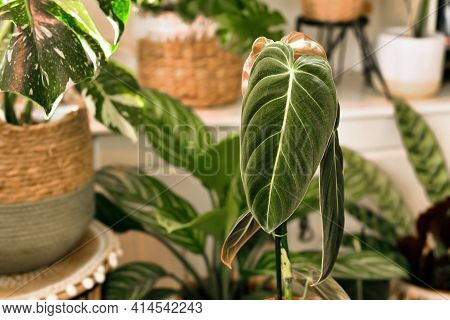 Close Up Of Leaf Of Tropical Houseplant With Botanic Name 'philodendron Melanochrysum' Houseplant Wi
