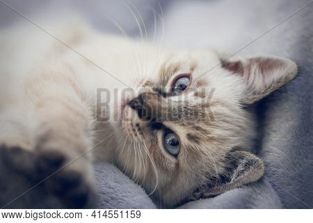 Portrait Of A Kitten Lying On A Blanket, Top View. A Thai-bred Kitten. Small Cat.
