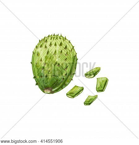 Nopal Cactus Slice And Whole. Vector Vintage Hatching Color Illustration. Isolated On White Backgrou