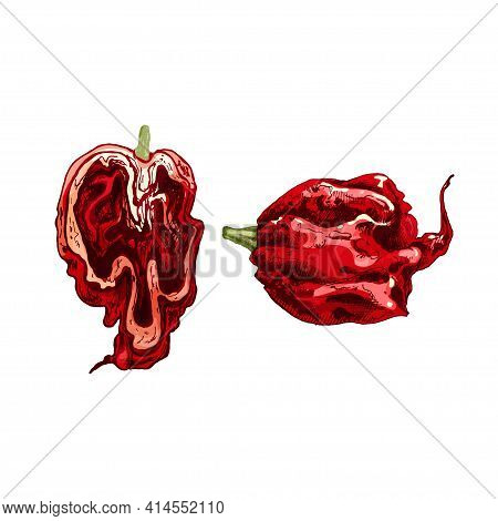 Whole And Half Pepper Carolina Reaper. Vector Vintage Hatching Color Illustration. Isolated On White