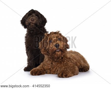 Red And Chocolate Cobberdog Aka Labradoodle Pups, Sitting And Laying Down Together. Looking Towards