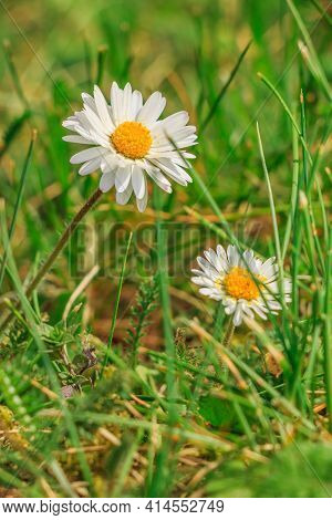 Two Flowers Of Meadow Flower Daisies On A Meadow In Spring. Flower With White Petals And Yellow Poll