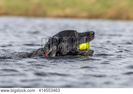 Head Shot Of A Pedigree Black Labrador Swimming In The Water With A Tennis Ball In It's Mouth