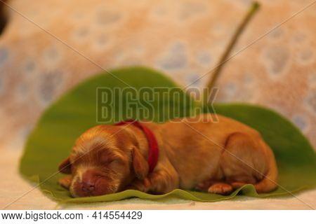 Amazing, Newborn And Cute Eglish Cocre Spaniel Puppy Detail. Sleeping Golden Puppy On Green Sheet, Y