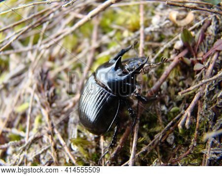 A Dung Beetle Stands On The Ground Between Sticks And Moss
