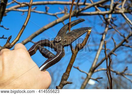 Garden Work Of Spring. Farmer Hand Prunes And Cuts Branches Of A Tree In The Garden With Pruning She