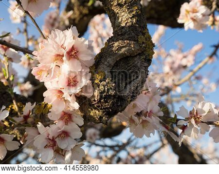 Almond Tree In Full Bloom.closeup Of A Branch Of An Almond Tree.a Field Of Blossoming Almond Trees.
