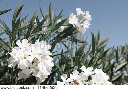 Close-up Of Blooming Oleander Bush With White Blossoms, Green Leaves Against Blue Summer Sky In Sunl