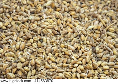 Wheat Seeds Grains Textured Background, Raw Food Ingredients, Agricultural Product