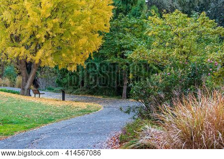 Yellow Leaves Of A Ginko Tree And  A Bench At The Uc Davis Arboretum In The Fall