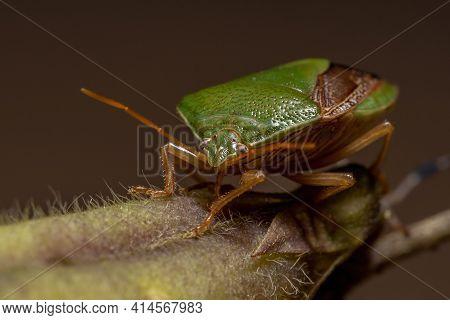 Adult Stink Bug