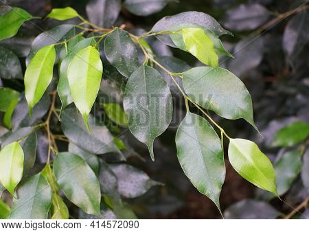 Green Leaves Of Weeping Fig 'midnight' Plants