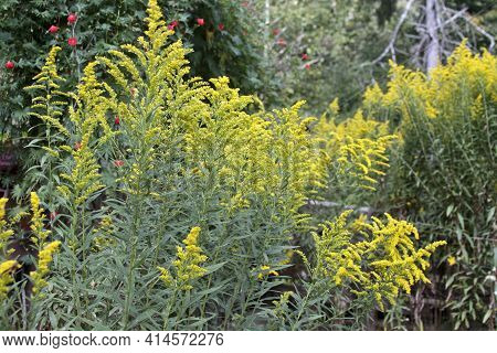 Colorful Yellow Flowering Goldenrod Plants Growing Wild And Tall  In Springtime, A Bane To Those Wit