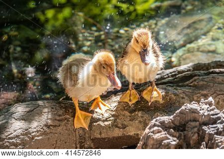 Cute Little Ducklings Standing In A Lake Coast. Agriculture, Farming. Happy Duck. Cute And Humor
