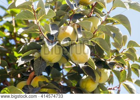 Unripe Persimmon Fruits Hanging On Tree Branches In The Garden