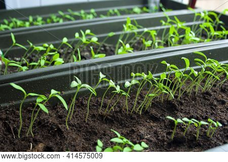 A Lot Of Fresh Green Sprouts Of Young Tomato Bush On Sun. Growing Seedlings Of Tomato On Spring. Spr