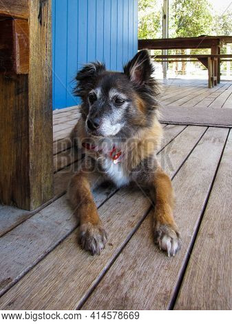 Mongrel Dog Chills On A Patio Floor In A Countryside Home. The Dog Possibly Has Mix Of Papillon, Pom