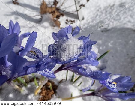 Group Of Beautiful And Delicate First Early Spring Flowers - The Syrian Iris (iris Histrio) In The G