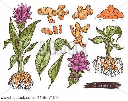 Hand Drawn Set Turmeric Or Curcuma Plant, Engraving Vector Illustration Isolated.