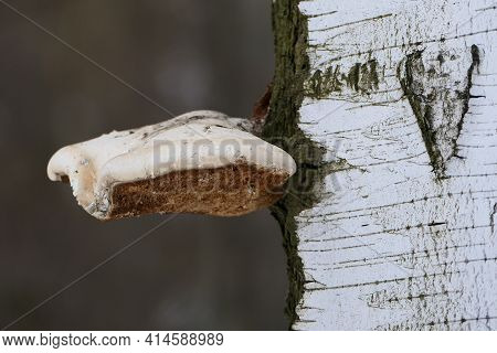 The Chaga Mushroom Is Large On The Trunk Of The Tree. The Texture Of The Birch Trunk. Close-up. High