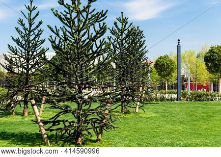 Branch Of Araucaria Araucana, Monkey Puzzle Tree, Monkey Tail Tree, Or Chilean Pine. It Is An Evergr