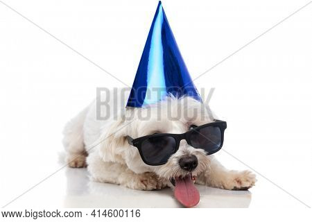 adorable bichon dog wearing a blue birthday hat and sunglasses, laying down and sticking out tongue