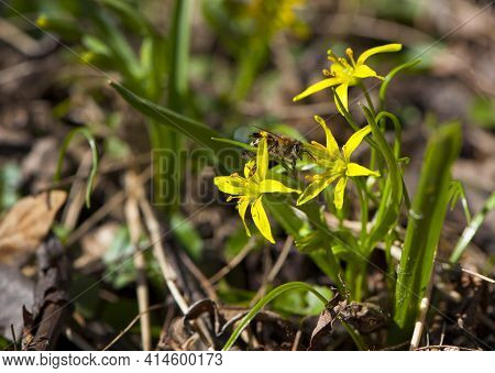 Gagea. Bee On Early Spring Goose Flowers. A European Or Western Honey Bee Sits On A Yellow Flower. B
