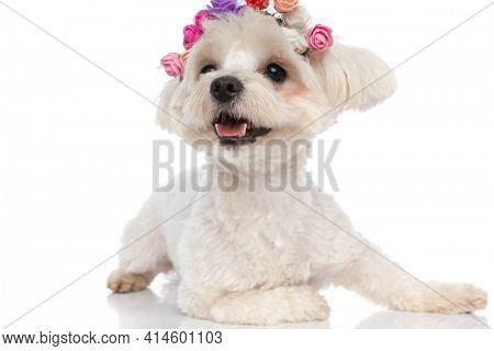 adorable bichon dog lying down, wearing a headband of flowers and sticking out his tongue