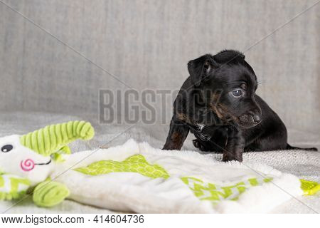 Brown And Black Brindle Jack Russell Terrier Dog Puppy. Is Stubborn With A Toy Elephant. Dog Seen Fr