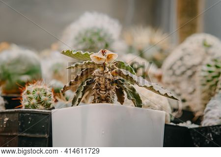 Cactus Flowers, Euphorbia Decaryi With Flower Is Blooming On Pot, Succulent, Cacti, Cactaceae, Tree,