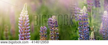 Blooming Macro Lupine Flower. Lupinus Field With Pink Purple And Blue Flowers. Sunlight Shines On Pl