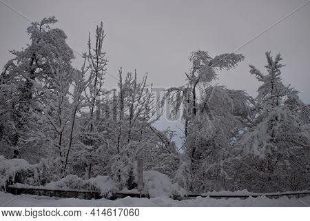 Snow Covered Branches In Buchs In Switzerland 15.1.2021