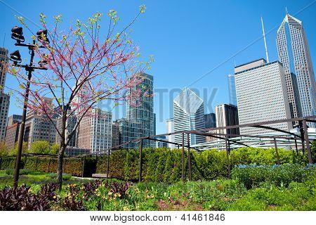 Sakura In Chicago