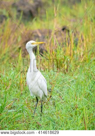 Great White Egret Standing And Its Long Neck High Calmly Walking And Watchful At The Harvested Paddy