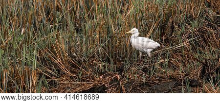 Great White Egret Calmly Walking And Watchful At The Harvested Paddy Field In The Warmth Of The Morn