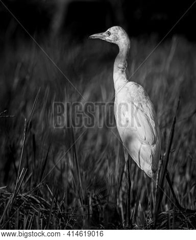 White Egret Bird Close-up Monochromic Portraiture Photograph. Egret Walking In The Paddy Field In Th