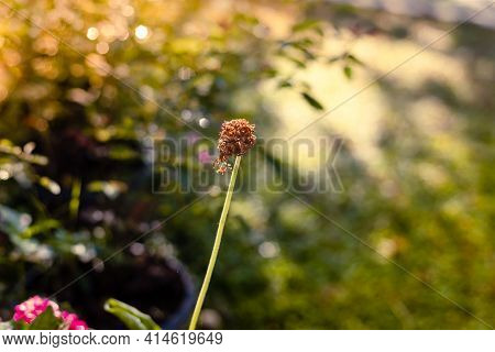 Dead Flower With Long Steam In The Morning Meadow Natural Soft Background,