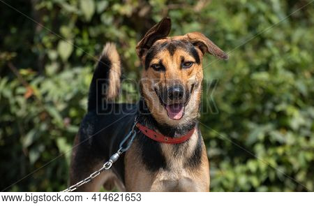 Young German Shepard Dog Takes A Walk With Its Master Along The Lake Road. Always One Ear Up For Lis