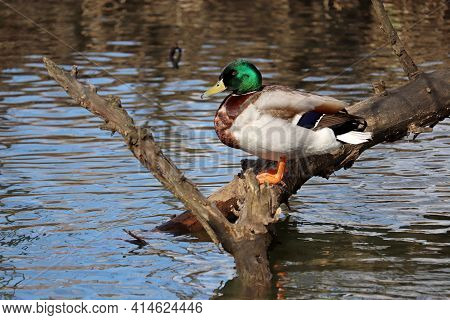 Mallard Duck Sitting On A On A Tree Trunk In A River. Male Wild Duck  At Spring