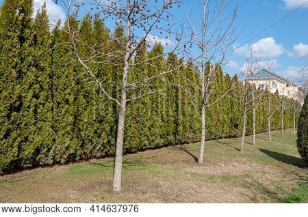 Hedge Of Thuja Trees. Row Of Tall Evergreen Thuja Occidentalis Trees Green Hedge Fence Along Path At