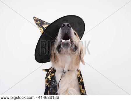 Happy Dog In A Witch Costume Sits On A White Background. Golden Retriever For Carnival, Halloween.