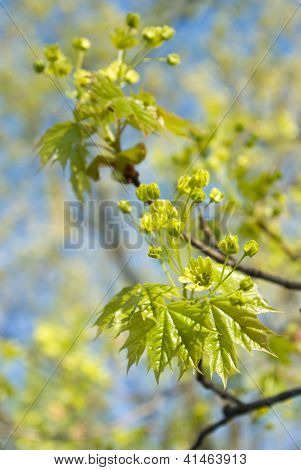Maple Leaves And Flowers
