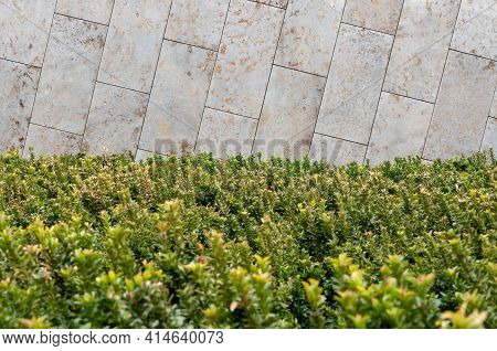 Close Up View Of Boxwood Bushes With Green Foliage And Sunlight Background. Boxwood Bushes Growing A