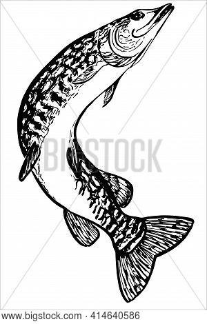 Pike Hand Drawn Sketch. Engraved Style Vector Freshwater Lake Fish Species Of Blue Walleye Or Charac