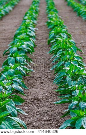 Green Pepper Grown In Greenhouses. Young Fresh Sprout In Sunlight In A Greenhouse.