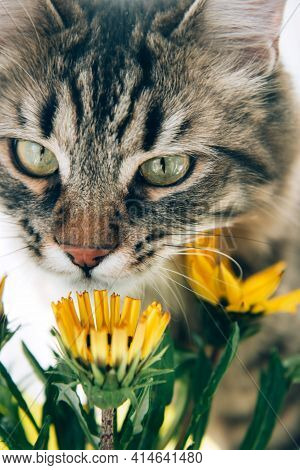 Cute Gray Tabby Cat Sniffs Bright Yellow Flowers