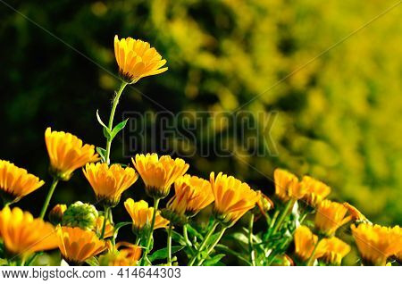 Spring landscape,spring flowers of calendula under soft spring morning sunlight. Focus at the upper spring flower,spring meadow,spring background,colourful spring flowers,spring flowers in sunny spring garden,spring nature,sunny spring view,spring scene,s