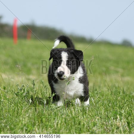 Amazing Border Collie Puppy Looking At You