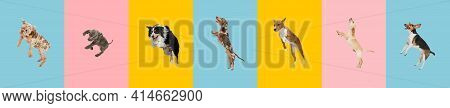 Young Dogs Are Posing. Cute Doggies Or Pets Jumping High On Multicolored Background. Studio Photosho